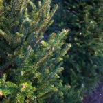 Abete di Douglas, albero ornamentale oltre che da legno | Coltivazione