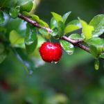 Acerola, la Ciliegia delle Barbados |Cura e coltivazione