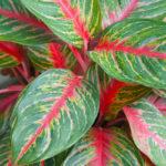 Aglaonema pianta da interni | I segreti per la cura