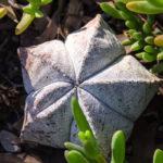 Astrophytum myriostigma | Come coltivare la pianta a forma di stella