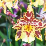 Cambria | Orchidea facile da coltivare: le regole da seguire