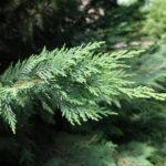 Chamaecyparis, siepe sempreverde | Coltivazione e varietà