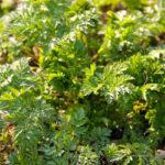 Cicuta | Come riconoscere questa pianta velenosa