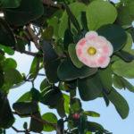 Clusia rosea: pianta da interno perfetta in vaso | Coltivazione e cura