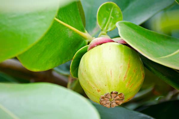 clusia rosea