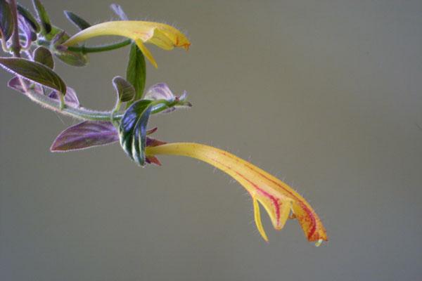 columnea