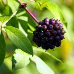Eleuterococco, ginseng siberiano | Proprietà, coltivazione e raccolta