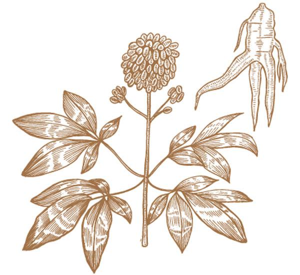 eleuterococco radice