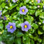 Exacum affine, una pianta da vaso ricca di fiori | Ecco come coltivarla