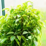 Ficus benjamin | Coltivazione e cure di una pianta tropicale