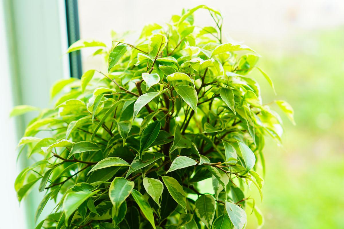 Quando Potare Il Bouganville ficus benjamin | coltivazione e cure di una pianta tropicale