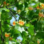 Liriodendron tulipifera | Come si coltiva l'albero dei tulipani