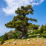 Pino Loricato | L'albero con la corazza dei soldati romani