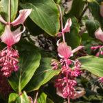 Medinilla, le varietà più coltivate | Cura e coltivazione
