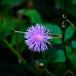 Mimosa pudica: la Sensitiva | Come coltivare il fiore timido e sensibile