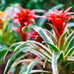Neoregelia, la pianta dalle foglie magnifiche | Come coltivarla