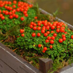 Nertera | Guida alla coltivazione della pianta con le bacche arancioni