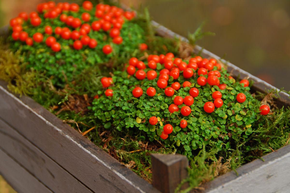 Pianta Ornamentale Con Bacche Rosse nertera | guida alla coltivazione della pianta con le bacche
