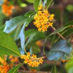 Osmanto odoroso | Come coltivare una siepe profumata d'oriente