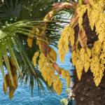 Palma cinese | Coltivazione del ventaglio d'oriente