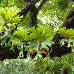 Platycerium, la felce a corna di alce | Come coltivarla in vaso