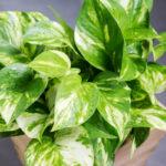 Potos, la pianta da interni con le foglie a forma di cuore | Coltivazione