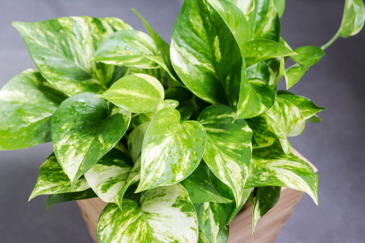 Piante Da Arredo Appartamento potos, la pianta da interni con le foglie a forma di cuore