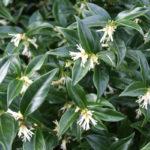 Sarcococca | Come coltivare la sempreverde che fiorisce in inverno