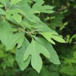 Sassofrasso: l'albero dalla bellissima chioma | Come si coltiva