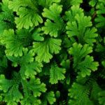 Selaginella, la sempreverde dalle foglie squamose | Varietà e coltivazione