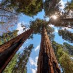 Sequoia gigante | Caratteristiche e cura di un albero colossale