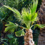 Washingtonia, la palma californiana | Coltivazione e cura