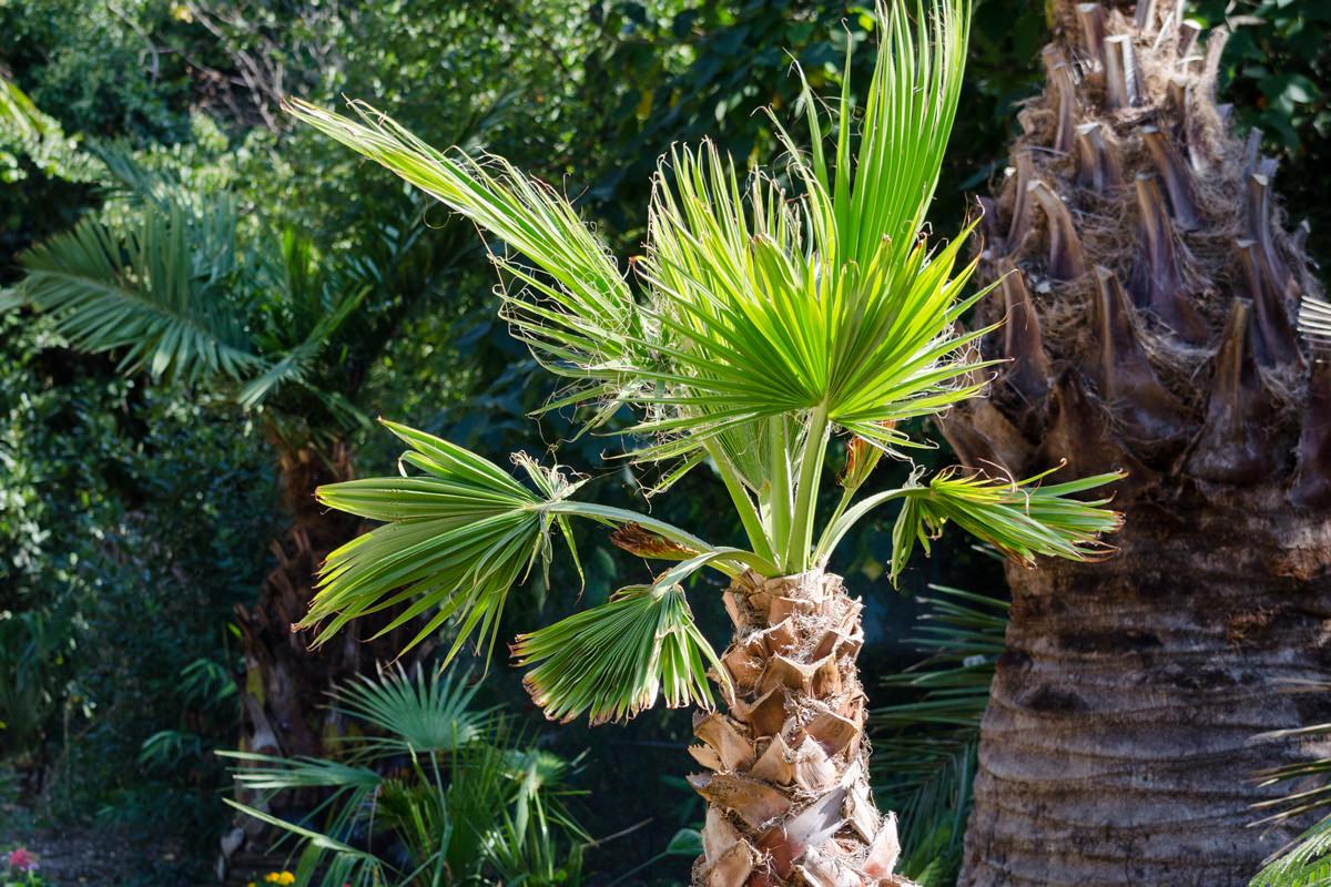 Palme Da Vaso Per Esterno washingtonia, la palma californiana   coltivazione e cura
