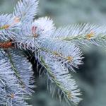 Abete argentato | Coltivazione e cura dell'Abete del Colorado