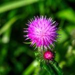Bardana| Come coltivare questa pianta officinale
