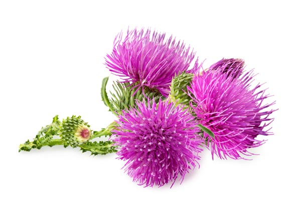 fiore Arctium lappa