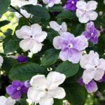 Brunfelsia,la sempreverde dai bellissimi fiori | Coltivazione e varietà