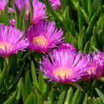 Carpobrotus, succulenta perenne tappezzante | Coltivazione