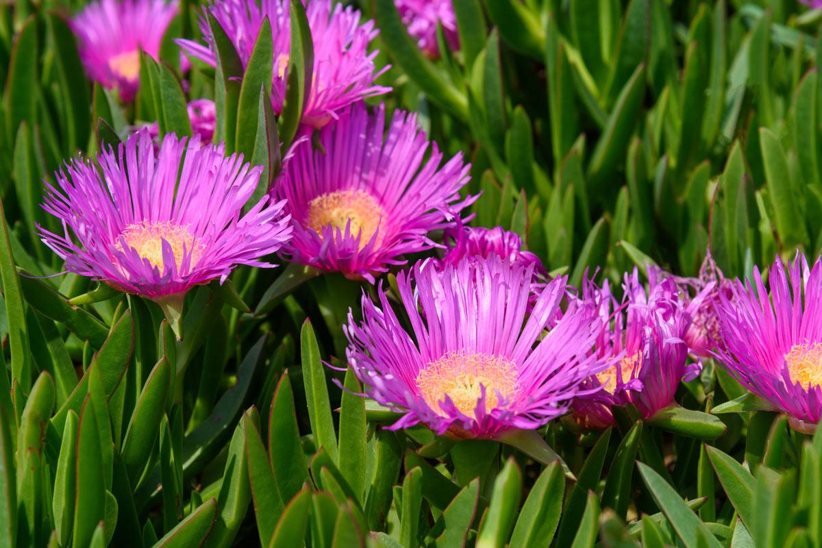 Barba Di Giove Sempreverde carpobrotus, succulenta perenne tappezzante | coltivazione