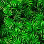 Chamaedorea, la palma nana | Coltivazione e cura
