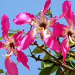 Chorisia speciosa | Coltivazione e cura di quest'albero ornamentale