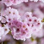Ciliegio giapponese, l'albero ornamentale d'oriente | Coltivazione e prezzi