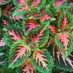Coleus | Come coltivare la pianta dalle foglie variopinte