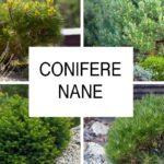 Conifere nane | Tante varietà da coltivare