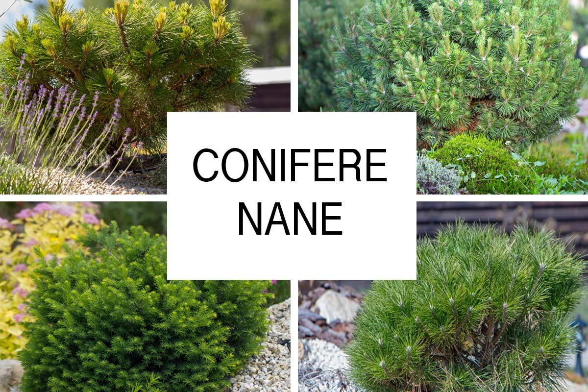 Alberi Nani Da Giardino conifere nane | tante varietà da coltivare - fai da te in