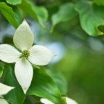 Cornus kousa | Come coltivare l'albero delle fragole
