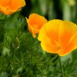 Escolzia, il papavero della California | Coltivazione e proprietà