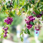 Eugenia myrtifolia, arbusto da siepe | Coltivazione
