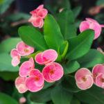 Euphorbia milii, la corona di Cristo | Cura e coltivazione
