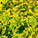 Evonimo, arbusto da siepe | Coltivazione e varietà